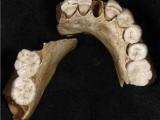 Европейские неандертальцы вымерли около 50000 лет назад