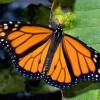 Популяция бабочки Монарха стремительно падает вниз