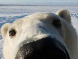 ПХБ уровень у норвежского полярного медведя начал снижаться
