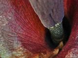 Некоторые растения переняли запах навозного жука