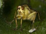 Европейские мухи-навозницы предпочитают крупных самцов