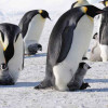 Учёные подсчитали пингвинов при помощи спутниковых снимков