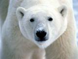 Белые медведи эволюционировали 600000 лет назад