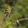 Учёные разгадали брачное поведение паука Аргиопа Брюнниха