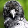 Вороны узнают людей по голосу