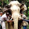 В Малайзии будут по GPS следить за слонами