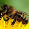 Учеными обнаружена причина массовой гибели пчел