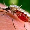 Ученые создали генетически измененных комаров, которые не способны к распространению малярии