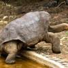 Известный гигант Галапагосские черепахи-Должны ли мы клонировать Одинокого Джорджа?