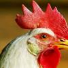 Гены курицы могут защитить от рака