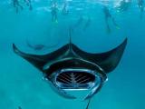 У берегов Италии обнаружили гигантского ската