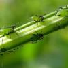 Тля способна лечить растение, на котором обитает