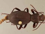 Ученые США обнаружили новый вид жуков
