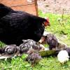 Ученые выяснили, как произошло одомашнивание кур