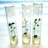Ученые Приморья клонируют редкие растения