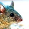 Ученые сконструировали протез сетчатки для мышей