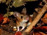 Особенности зрительной системы сигнализации об опасности у мышей