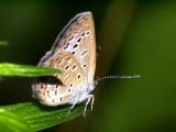 В Японии мутировали бабочки