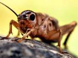 Отсутствие стрекотания, как фактор форирования агрессии у самцов сверчков