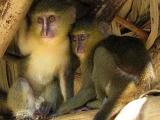 Ученые обнаружили новый вид обезьян