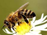 Ученые надеются поставить мозги пчел в летающих роботов