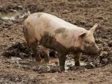 Свиньи ярмарки – смертельный риск заражения