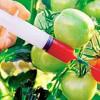 ГМО подозревается в разрушительной волоконной болезни
