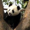 Ученые изучают антибиотик в крови гигантских панд