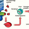 Ученые выявили белок,стимулирующий иммунитет к вирусам