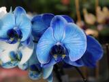 Ученые вырастили в Японии первую в мире голубую орхидею