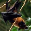 Ученые: Летучие мыши-крыланы практикуют оральный секс