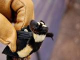 Новый род летучих мышей обнаружен в Южном Судане