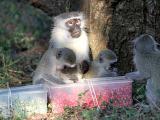 Ученые:поведение приматов зависит от окружающей группы