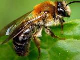 Учёные вывели пчёл, чувствующих взрывчатку