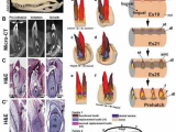 Исследуя зубы аллигаторов, ученые надеются добиться регенерации зубов у человека