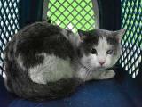 В Новосибирске найден саблезубый кот