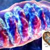 Антибиотик может замедлить процесс старения