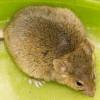 Мыши-самцы с избыточным весом дают потомство с более высоким содержанием телесного жира
