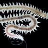 Обнаружены приливно-отливные биологические часы у двух морских обитателей