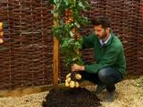 Завод TomTato выращивает на одном растении и помидоры, и картофель