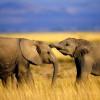Слоны хорошо различают женские и мужские голоса