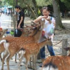 Туристов в Японии призывают остерегаться оленей
