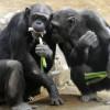 Ученые смогли расшифровать жесты шимпанзе