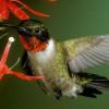 По лётным качествам колибри превосходит вертолет