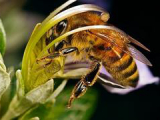 Ученые смогли увеличить агрессию пчел