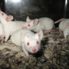 Ученые-вирусологи провели удачную вакцинацию мышей и макак от болезни MERS.