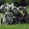 Обнимающиеся коалы