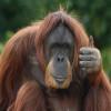 Как орангутаны отпугивают хищников?