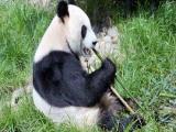 Панды должны быть хищниками