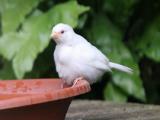 Воробей-альбинос